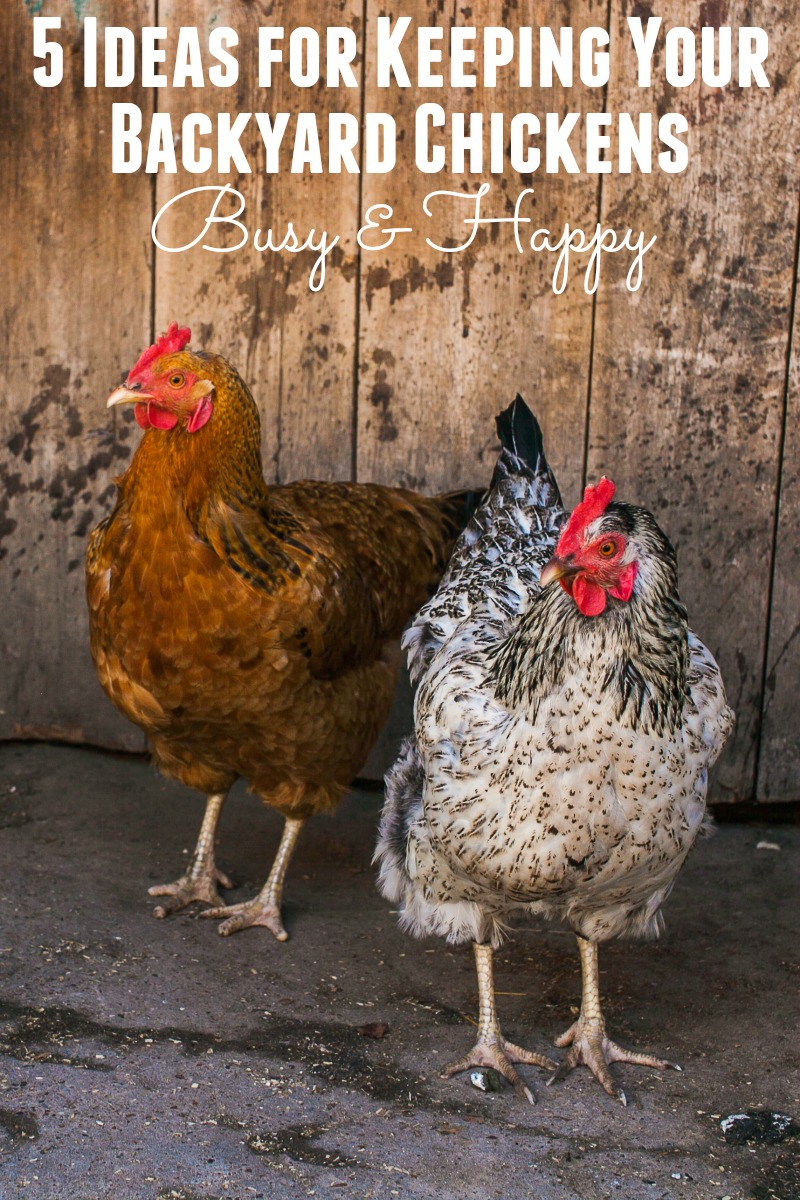 Are you trying to keep your backyard chickens from getting bored, noisy and destructive? Give these 5 ideas a try to keep your chickens happy and busy.
